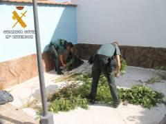 Ávila: Plantas De Marihuana Incautadas