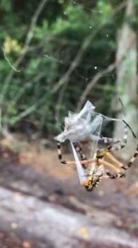 El impactante vídeo en el que una araña atrapa con su seda a un sapo en Florida