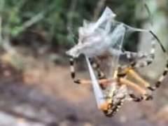Así atrapa una araña a un sapo con su seda en Florida