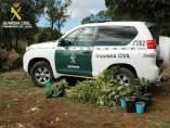 Plantas de marihuana localizadas por la Guardia Civil en Lleida