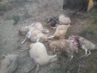 Salamanca: Ovejas muertas por los lobos