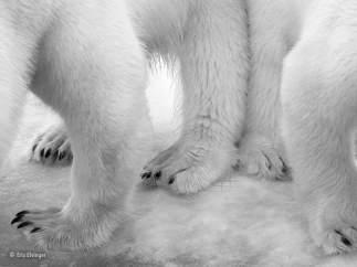 'Dos osos polares' de Elio Elvinger