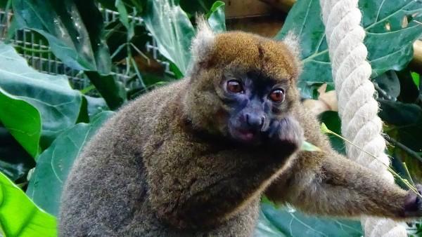 El lémur grande del bambú