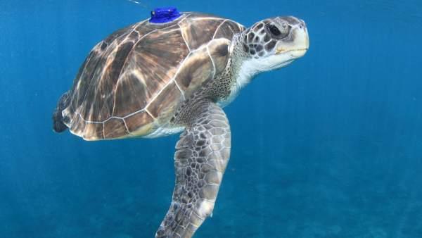 Ulpgc. La Ulpgc Investiga Sobre Las Amenazas Para La Tortuga Verde En Canarias +