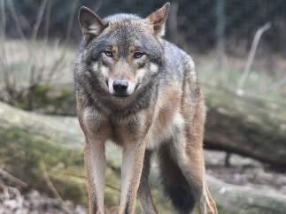 WWF pide investigar el posible atropello intencionado de un lobo en Gredos