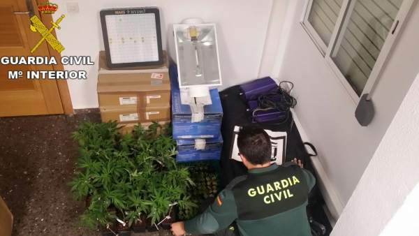 Plantas de marihuana intervenidas