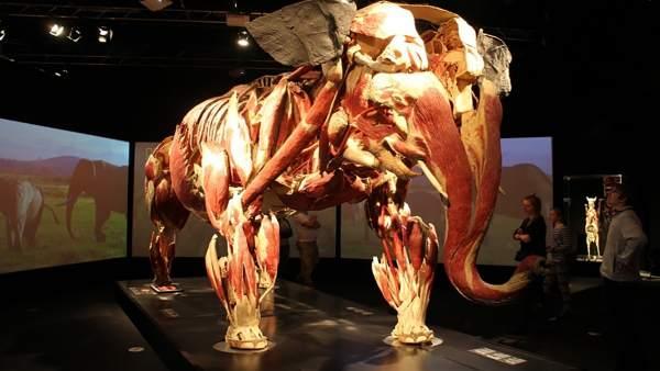 Una muestra de elefante de la exposición Animal Inside Out.