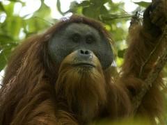 Orangután de Tapanuli