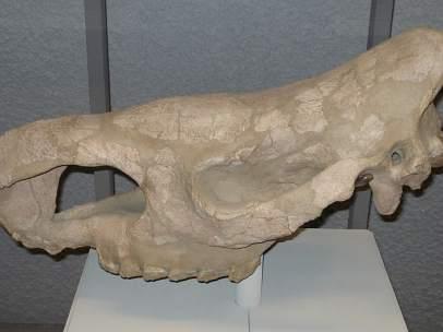 Stephanorhinus