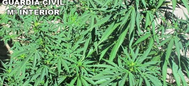 Plantas de marihuana decomisadas en Zamora