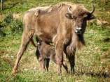 Primera cría de bisonte europeo del programa de recuperación en Lacuniacha