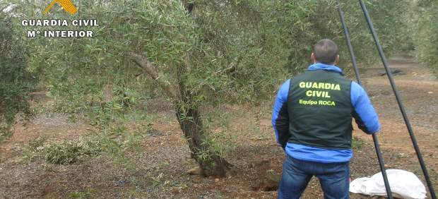 Operativo del equipo ROCA en un olivar