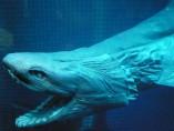 Tiburón con volantes