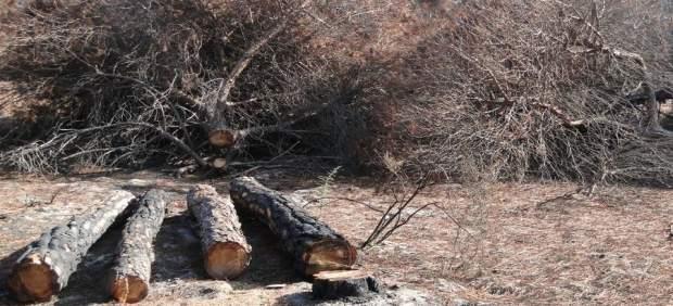 En Sevilla hay unos 2.500 árboles en situación de riesgo.