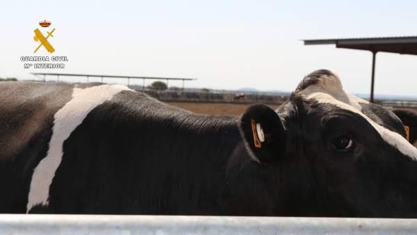 Una de las vacas mutiladas