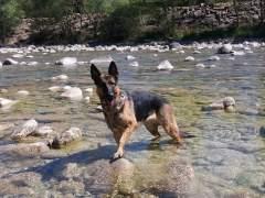 Un perro raza pastor alemán
