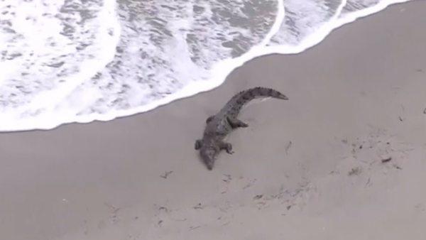 Evacúan una playa en Florida tras la llegada de un cocodrilo