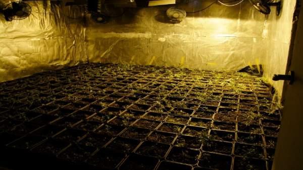 Cultivo ilegal de marihuana
