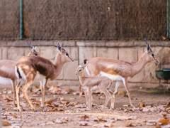 Una nueva cría de gacela común ('gazella dorcas') en el Zoo de Barcelona