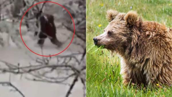 Yetis que son osos