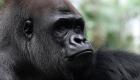 El ingenioso plan de unos gorilas para escapar de la lluvia sin mojarse