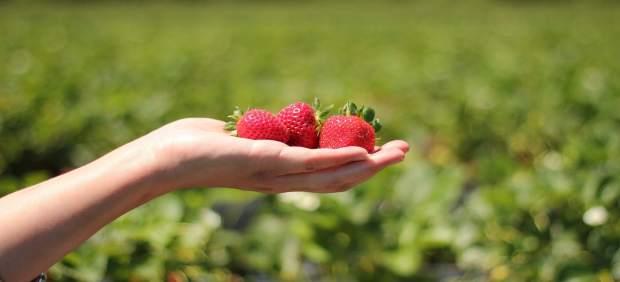 El cultivo de fresas sobre fibra de coco mejora calidad y crecimiento del fruto