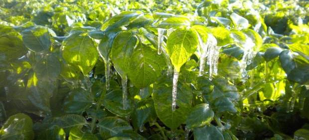 Las heladas afectan a las cosechas