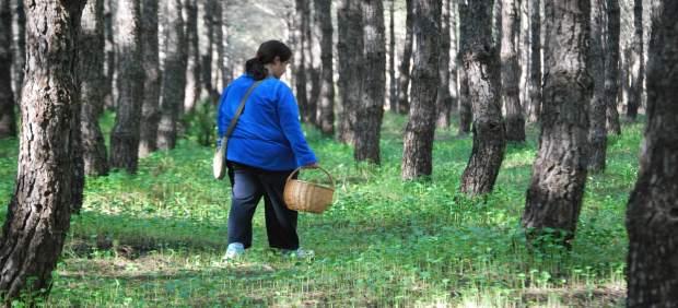 Recolección de setas en los pinares de Hinojos.