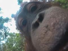 """""""Un orángutan cogió mi cámara GoPro y empezó a hacerse selfies"""""""