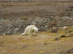 """""""Así es el hambre"""": el sobrecogedor vídeo de un oso polar moribundo"""