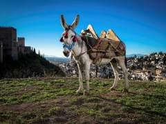 Manías, un burro andaluz de 10 años