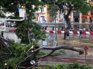 Ficus derribado en Málaga