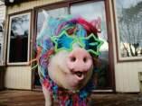 Cerdo influencer