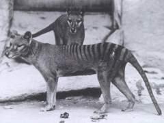 El tigre de Tasmania evolucionó para parecerse a un lobo