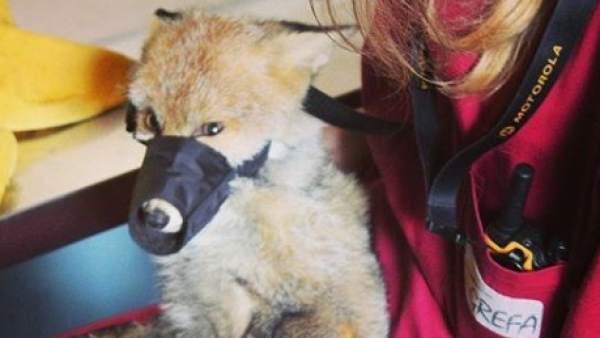Un zorro en la sede de la ONG GREFA