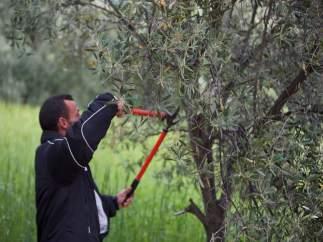Poda de olivos