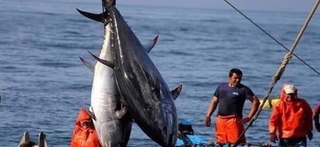 Pesca de atún en almadraba