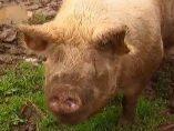 El cerdo Quinín
