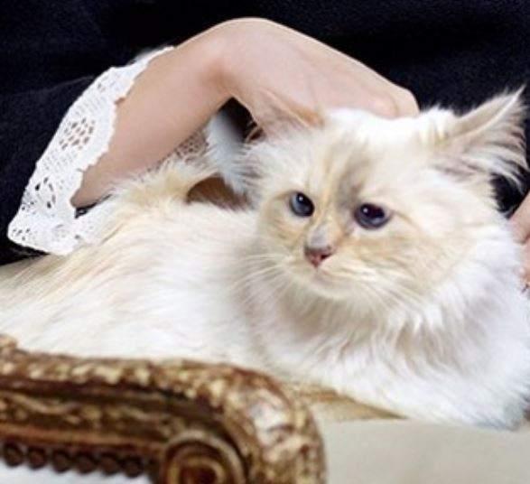 Choupette, la gata consentida y millonaria que cobra 3 millones de euros al año