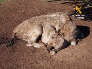 Vaca muerta en Salamanca