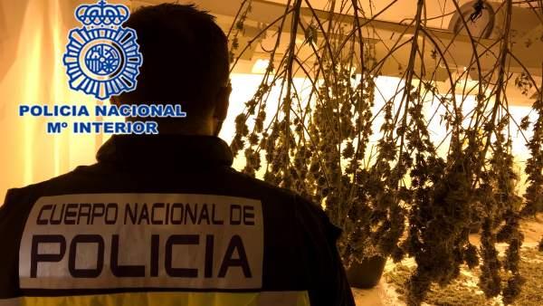 Nota De Prensa Policial: 'Desmantelada Plantación De Marihuana Cultivada En Un G