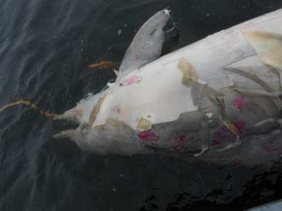 Un delfín Tucuxi muerto en aguas brasileñas