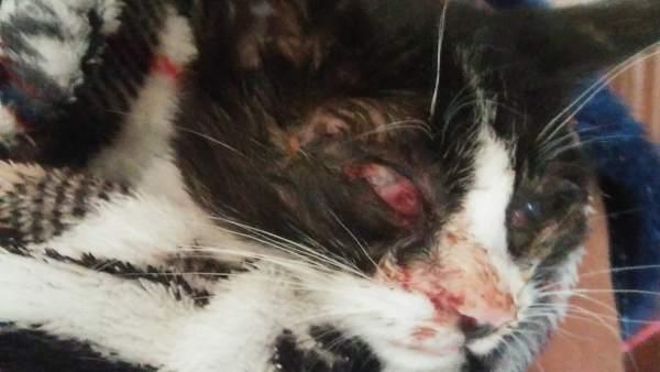 Gato que hubo que sacrificar tras recibir una paliza.