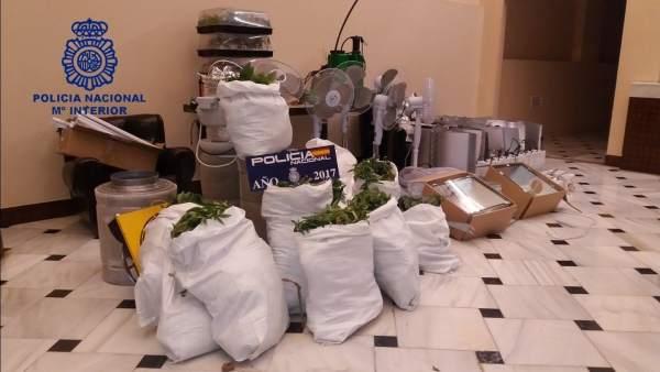 Cannabis intervenido en una plantación en Marchena