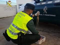 Pulpo inmaduro incautado en Punta Umbría (Huelva).