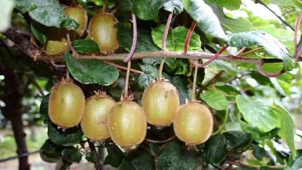 Kiwi gallego