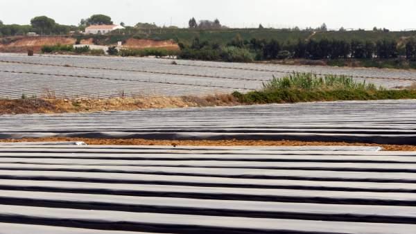 Plantaciones de fresas en Huelva