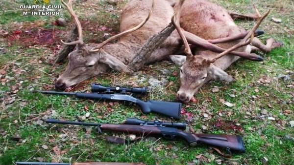 Dos venados abatidos por cazadores furtivos.
