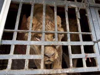 Uno de los leones cedidos por el Circo París