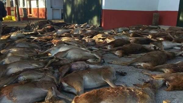 Animales abatidos en La Granada de Riotinto (Huelva).